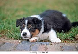 kelpie x australian shepherd dog australian sheepdog puppy stock photos u0026 dog australian