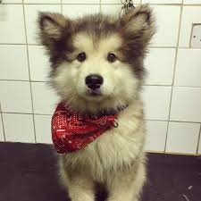 Dogs In The Bathtub This Baby Malamute Finds His Voice In The Bathtub And It U0027s