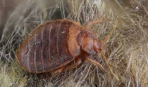 What Do Exterminators Use To Kill Bed Bugs Can Bed Bugs Live In Your Car