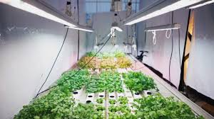 valoya research lettuce and herbs how valoya led lights control