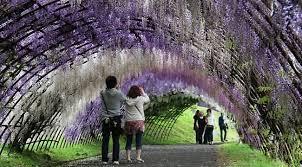 wisteria flowers tunnel at kawachi fuji garden in japan