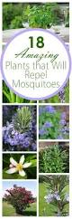 best 25 repel mosquitos ideas on pinterest mosquito plants