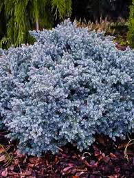 buy juniper trees the tree center