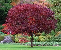 flowering plum tree thundercloud degroot