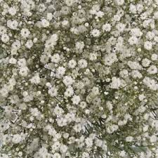 Bulk Baby S Breath Fresh Million Star Flowers For Your Wedding Fresh Bulk Flowers