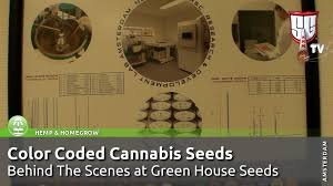 color coded cannabis seeds behind the scenes at green house seeds