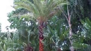 palm trees 936 524 3889 texas pool landscaping youtube