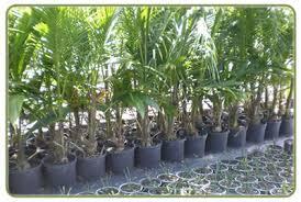 the cove farms wholesale palm tree grower whole tilapia live