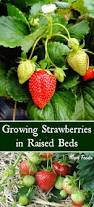 Greenes Fence Raised Beds by Growing Strawberries In Raised Beds For A Bountiful Harvest Mom