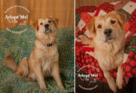 australian shepherd rescue san diego and friends adoptable san diego dogs from aussie rescue fetchlight