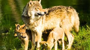 help end the slaughter of wyoming s wolves