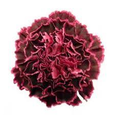 Wholesale Carnations Extensive Range Of Fresh Cut Wholesale Carnations From J U0026e Page