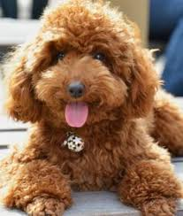 haircutsfordogs poodlemix poodle best dog breeds pinterest dog haircuts poodle and