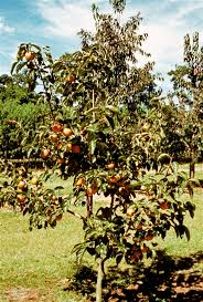 Best Fruit Trees For North Carolina - native and oriental persimmon trees