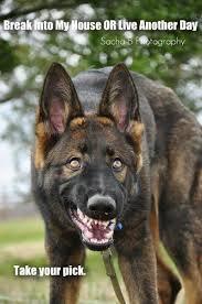 belgian shepherd how to train 1848 best german shepherd dogs images on pinterest german
