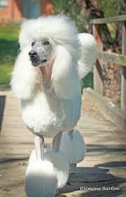 haircutsfordogs poodlemix best 25 white toy poodle ideas on pinterest maltipoo white