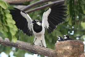 Magpie Birds In Backyards Magpie Lark Exotic Birds Pinterest Magpie Bird And Exotic Birds