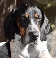 buy a bluetick coonhound puppy gunner rocket dog rescue