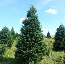 balsam fir christmas tree christmas trees allagash view farms llc fort kent me