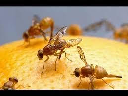 chasser les moucherons dans la cuisine comment gérer les moucherons envahisseurs et avoir toujours