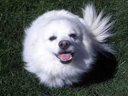 american eskimo dog lab mix lovely american eskimo dog face photo and wallpaper beautiful
