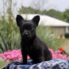 short haired dorkie mixes chihuahua mix puppies for sale greenfield puppies