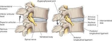 Anatomy Of Vertebral Body Vertebral Column Musculoskeletal Key