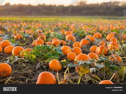 beautiful pumpkin field germany image photo bigstock