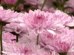 mums flower chrysanthemum hgtv
