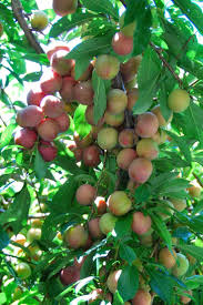 452 best fruits images on pinterest exotic fruit fruit trees