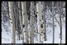 picture photo trunks of aspen trees in winter grand teton
