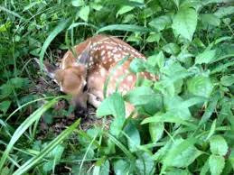 baby deer in my yard when i was cutting my lawn