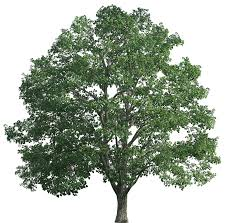 tree realistic png clip best web clipart