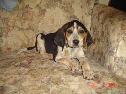 bluetick coonhound smokey coondawgs com coonhound classifieds and message forum
