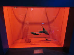 black ghost knifefish exhibit interesting concept zoochat