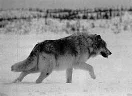 welcome the wolf back home