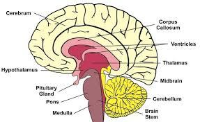Brain Stem Anatomy Brain Stem Medicalndx