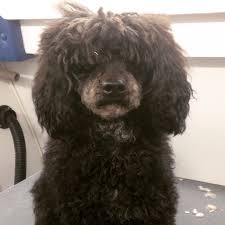 pictures of poodle haircuts start to finish miniature poodle haircut this groomer s life
