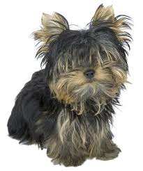 tea cup yorkie hair cuts the best hairstyle for teacup yorkies dog care the daily puppy