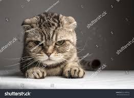 funny evil gray striped cat on stock photo 352189922 shutterstock