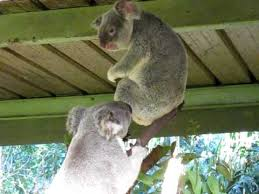 Angry Koala Meme - crazy koala fight youtube