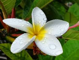 plumeria flower plumeria flowers in hawaii continue to enchant hawaii