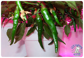 Chili Lights Red Chili Peppers Grown Under A Growpro Ufo Led Grow Light The