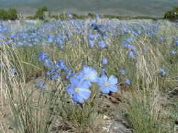 native plants alberta linum lewisii blue flax alberta prairie plants pinterest