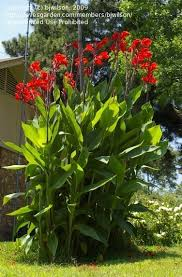canna lilies size picture of canna canna x generalis