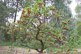 Cherry Tree Fruit - tulare cherry tree sweet cherry trees tart cherry trees low