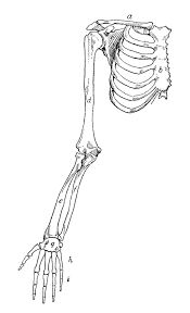 bone in arm pictures free coloring pages of bones of the hand