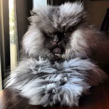 Colonel Meow Memes - colonel meow the cat with the longest fur funny pictures quotes