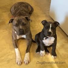 blue nose american pitbull terrier american pit bull terrier vs american bully