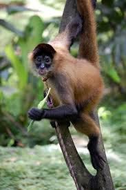 geoffroy u0027s spider monkey wikipedia